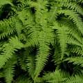 Lush ferns are abundant in the park.- Acadia National Park