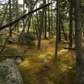 Woods of Isle Au Haut.- Acadia National Park