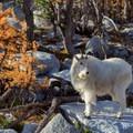 Mountain goats are abundant in the area.- Enchantment Lakes Hike via Colchuck Lake