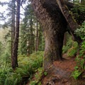 The trail tunnels through an old-growth Sitka spruce tree.- Oswald West State Park
