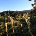 Bear grass meadow near Cairn Basin.- Timberline Trail