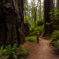 Taking in the daunting redwoods in Prairie Creek Redwoods State Park.- Redwood National + State Parks