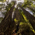 Several redwoods clustered together in Prairie Creek Redwoods State Park.- Redwood National + State Parks