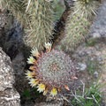 Blooming barrel cactus during a super bloom in Hellhole Canyon.- Hellhole Canyon Trail to Maidenhair Falls
