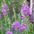 Fireweed on the Beaver Pond Loop.- A Weekend in Glacier National Park