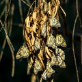 The monarchs cluster in large numbers on the eucalyptus branches- Natural Bridges State Beach