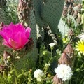 Beavertail cactus along the Hellhole Canyon Trail in Anza-Borrego during a super bloom.- Big Snow and Spring Impacts