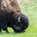 Bison, the unofficial national animal and Outdoor Project mascot, in Custer State Park.- Celebrate Your Independence