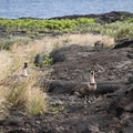 A pair of endangered nēnē guard a nest near the end of the Chain of Craters Road in Hawai'i Volcanoes National Park.- Hawai'i Volcanoes National Park