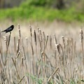 Red-winged blackbird (Agelaius phoeniceus).- The Ultimate Fall Road Trip: Pacific Northwest to Yellowstone