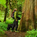Salmon River, Old Trail: Giant western red cedar (Thuja plicata).- Oregon's 75 Best Day Hikes