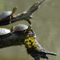 Western painted turtle (Chrysemys picta) at Ridgefield National Wildlife Refuge.- Oil trains are risking it all in the Columbia River Gorge