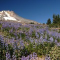 Mount Hood (11,250 ft) and a lupine field.- Mount Hood's 15 Best Day Hikes