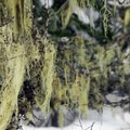 Spanish moss along the Beaver Marsh Loop.- Great Cross-Country Ski Trails on Mount Hood