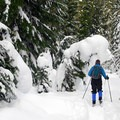 Working through the fresh snow on the Beaver Marsh Loop.- Great Cross-Country Ski Trails on Mount Hood