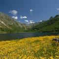 Field of bird's-foot trefoil (Lotus corniculatus) at Coldwater Lake.- Exploring Mount St. Helens