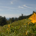 Puget balsamroot (Deltoid balsamroot) on Dog Mountain.- Hiking in the Columbia River Gorge