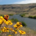 Blanket Flower (Gaillardia aristata) along the Deschutes River at Ferry Springs.- 45 Unbeatable Wildflower Adventures Across the West