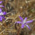 Catherine Creek Hike: Harvest Brodiaea (Brodiaea coronaria)- Wildflowers in the Columbia River Gorge - 10 Hidden Gems