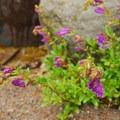 Broad-leaved penstemon (Penstemon ovatus).- 35 Must-See Waterfalls This Spring