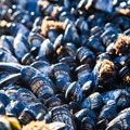 Blue mussels (Mytilus edulis).- Navigating the Oregon Coast Trail
