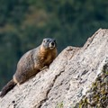 Marmots are common on the tundra.- Rocky Mountain National Park