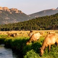 Rocky Mountain elk (Cervus elaphus) grazing in Moraine Park.- Rocky Mountain National Park