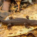 Rough-skinned newt along the Eel Lake Trail.- Guide to the Oregon Dunes National Recreation Area