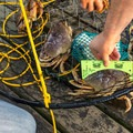 Measuring Dungeness crabs at Winchester Bay.- Loon Lake: The Oregon Coast's Hidden Summer Destination