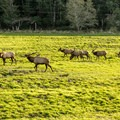 The Roosevelt elk is Oregon's largest land mammal, seen here at Dean Creek Elk Viewing Area.- 10 Best Locations for Spotting Wildlife on the Oregon Coast