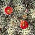 Blooming claret cup cactus (Echinocereus triglochidiatus).- Canyon De Chelly National Monument