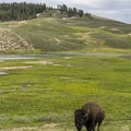 A lone bison grazing in Hayden Valley.- Yellowstone National Park