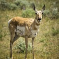 Pronghorn antelope doe near Slough Creek.- Yellowstone National Park