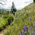 Lupine blooming along the Lost Lake Loop.- Yellowstone National Park