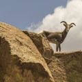 This mountain goat was spotted very close to the trail at Tsankawi Ruins.- Six Must Do Hikes Around Santa Fe + Taos