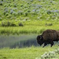Bison grazing by a pond in the Lamar Valley.- Yellowstone National Park