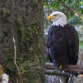 Bald eagle (Haliaeetus leucocephalus) at the Oregon Zoo.- Washington Park