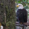 Bald eagle (Haliaeetus leucocephalus) at the Oregon Zoo.- Washington Park