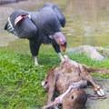 California condor (Gymnogyps californianus) at the Oregon Zoo.- Washington Park