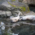 Harbor seals (Phoca vitulina) at the Oregon Zoo.- Washington Park
