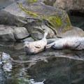 Harbor seals (Phoca vitulina) at the Oregon Zoo.- Washington Park