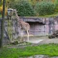 Reticulated giraffe (Camelopardalis reticulata) at the Oregon Zoo.- Washington Park