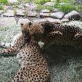 Cheetahs (Acinonyx jubatus) at the Oregon Zoo.- Washington Park