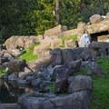 Mountain goat (Oreamnos americanus) at the Oregon Zoo.- Washington Park