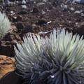 Haleakalā silversword (Argyroxiphium sandwicense subsp. macrocephalum) at the Pu'u'ula'ula Summit.- Haleakalā National Park