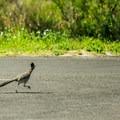 Roadrunner (genus Geococcyx) in  Dead Horse Ranch Campground.- Five Ways to Enjoy an Adventure Weekend in Sedona