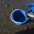 Softshell clam (Mya arenaria) found in Alsea Bay.- Oregon Fall Adventures