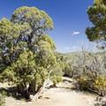 Utah juniper along the Cedar Point Nature Trail.- Black Canyon of the Gunnison National Park