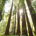 Tall Trees Grove.- Northern California Winter Road Trip