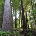 Massive old growth redwoods in Redwood National Park.- Redwood National + State Parks